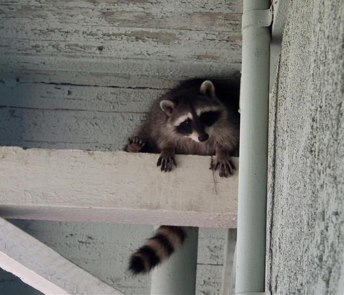 Raccoon inside overhang at a building